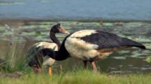 Magpie Geese Feeding