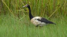 Magpie Goose Roaming