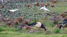 Magpie Goose Feeds Among Other Birds