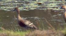 Plumed Whistling-Duck Walks