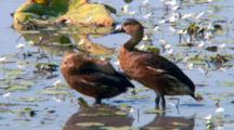 Plumed Whistling-Duck Grooms