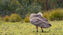 Cape Barren Goose Grooms