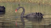Black Swan Feeds