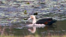 Radjah Shelduck Feeding