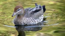 Australian Wood Duck Drinks
