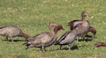 Australian Wood Duck Feed