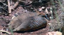 Spinifex Pigeons Rest