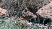 Spinifex Pigeons Groom