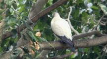 Pied Imperial-Pigeon Perched