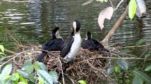 Little Pied Cormorant On Nest