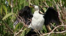 Little Pied Cormorant Drying Plumage