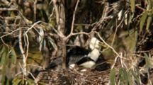 Little Pied Cormorant Nest