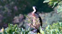 Pied Cormorant Perched