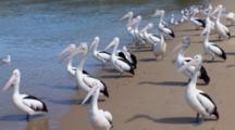 Australian Pelican Resting