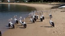 Australian Pelican Grooms