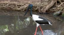 Black-Necked Stork Walks On Pond