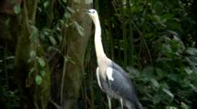 White-Necked Heron Perched