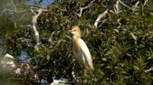Cattle Egret Perched