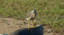 Striated Heron Perched