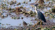 Pied Heron Searching For Prey