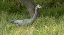 White-Faced Heron Catches A Lizard In Grass