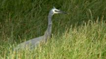 White-Faced Heron Catches Prey In Grass