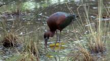 Glossy Ibis Feeding On Pond