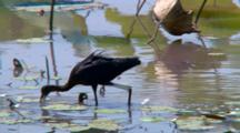 Glossy Ibis Feeding In Billabong