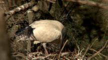 Australian White Ibis Feeds Chicks In Nest