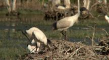 Australian White Ibis Feeds Chicks In Nest