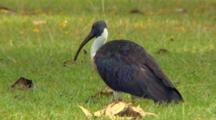 Straw-Necked Ibis Resting