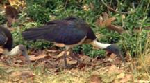 Straw-Necked Ibis Feeding