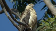 Whistling Kite Perched