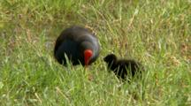 Purple Swamphen Feeding Chick