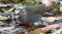 Buff-Banded Rail Feeds