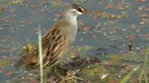 White-Browed Crake Feeds