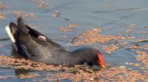 Dusky Moorhen Jumps Into Water