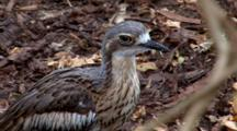 Bush Stone-Curlew Rests