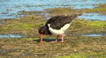 Australian Pied Oystercatcher Feeds