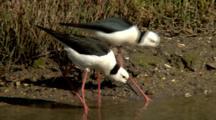 Black-Winged Stilts Feed