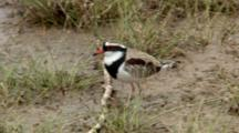 Black-Fronted Dotterel Feeds