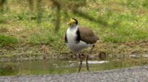 Masked Lapwing Taking A Bath