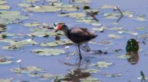 Comb-Crested Jacana Feeds In Wetland