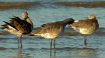 Black-Tailed Godwit Groom At Waters Edge