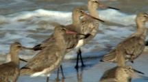 Black-Tailed Godwit Alert At Waters Edge