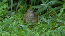 Painted Button-Quail Searches For Food