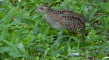 Painted Button-Quail Feeds