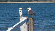 Pacific Gull Perched On Pier