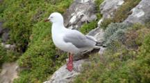 Silver Gull Stands On Rocky Ridge