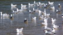 Silver Gulls Swimming